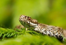 European viper Vipera berus in Czech Repblic royalty free stock photo