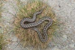 European viper (Vipera berus). Royalty Free Stock Photos