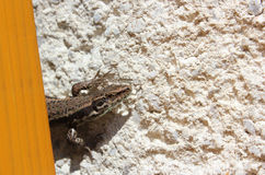 European wall lizard - close view. European or common wall lizard (Podarcis muralis) on the wall - close view Stock Images