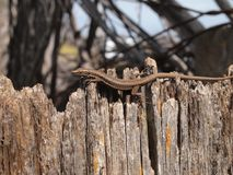 European Wall Lizard, Podarcis muralis. European wall lizard crawling on an old, weathered fence.  Photo taken at São Jorge, Madeira Portugal Stock Photography
