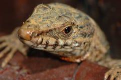 European wall lizard (Podarcis muralis). Peeking through the woods Royalty Free Stock Photo