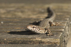European wall lizard Stock Photography