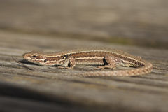 European wall lizard Stock Images