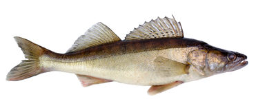 European walleye fish Royalty Free Stock Photography