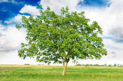European walnut (Juglans regia) Royalty Free Stock Images