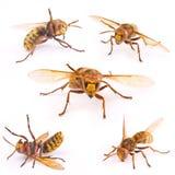 European Wasp Royalty Free Stock Photo