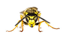 European Wasp Closeup on White Background Stock Image