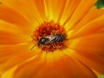 European Wasp, German Wasp or German Yellowjacket inside Marigold. German Yellowjacket known as European Wasp inside orange Marigold Stock Photo