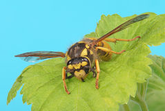 European wasp on leaf Stock Image