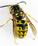 European wasp macro white background Stock Images