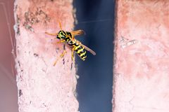 European wasp queen looks dangerous Vespula yellow black coloration royalty free stock images