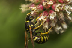 European wasp (Vespula germanica) Stock Photo