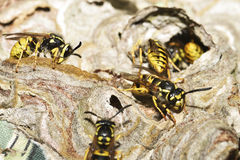 European wasp Royalty Free Stock Photo