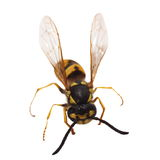 European wasp Vespula germanica isolated Stock Images
