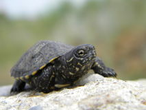 European water turtle baby. An European water turtle baby on a stone Royalty Free Stock Photos