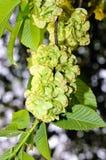 European White Elm Ulmus laevis. Foliage and winged fruits of European White Elm Ulmus laevis Stock Images