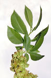 European White Elm (Ulmus laevis). Foliage and winged fruits of European White Elm (Ulmus laevis Stock Images