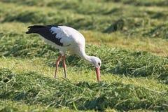 Free European White Stork Stock Photo - 14995210