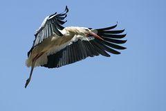 European White Stork. A European White Stork flies overhead in Alfaro, northern Spain Royalty Free Stock Images