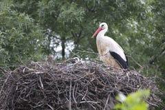 European white stork with chicks Stock Photo
