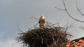 European white stork, ciconia ciconia Royalty Free Stock Photography