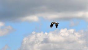 European white stork, Ciconia ciconia flying Royalty Free Stock Photos