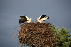 European white stork Royalty Free Stock Images