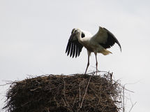 European white stork Royalty Free Stock Image