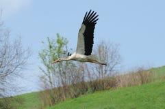 European white stork (Ciconia) Royalty Free Stock Photography