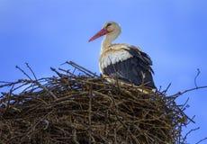 European white stork, ciconia, in the nest Royalty Free Stock Photos