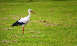 European white stork, ciconia Stock Image