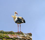 European white stork, ciconia. Standing on a roof royalty free stock photos