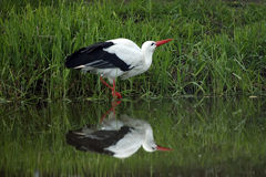 European White Stork Drinking. Beautiful European White Stork drinking water from a river.  Perfect reflection in the water Royalty Free Stock Image