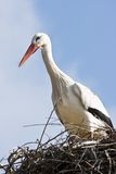 European white stork on nest Royalty Free Stock Images