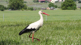European White Stork Stock Images