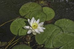 European white water lily Nymphaea alba. Nymphaeaceae Nymphaeaceae is a family of flowering plants. Members of this family are commonly called water lilies and royalty free stock photo