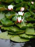 European White Waterlily Royalty Free Stock Photos