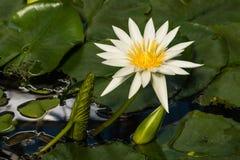 European white waterlily flower head Stock Photography