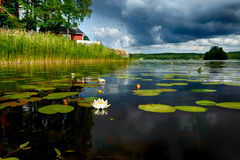 European white waterlily. In a Swedish lake Royalty Free Stock Image