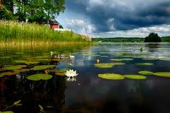 European white waterlily Royalty Free Stock Image