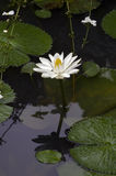 European white waterlily or nenuphar, a beautiful aquatic flower. European white waterlily or nenuphar, Nymphaea alba, aquatic flower originating in Europa and Stock Image