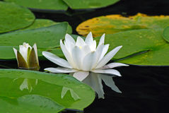 European white waterlily Royalty Free Stock Photography