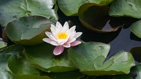 European White Waterlily, Water Rose or Nenuphar, Nymphaea alba, flower close-up, selective focus, shallow DOF.  Stock Images