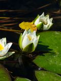 European White Waterlily, Water Rose or Nenuphar, Nymphaea alba, flower close-up, selective focus, shallow DOF.  stock photo
