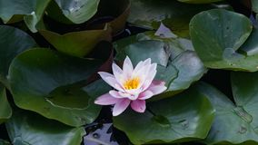 European White Waterlily, Water Rose or Nenuphar, Nymphaea alba, flower close-up, selective focus, shallow DOF.  stock image
