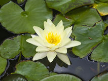 European White Waterlily, Water Rose or Nenuphar, Nymphaea alba, flower macro, selective focus. Shallow DOF Stock Photos