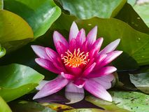 European White Waterlily, Water Rose or Nenuphar, Nymphaea alba, pink flower close-up, selective focus, shallow DOF.  stock images