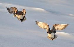 European widgeon. Two european widgeon in flight Royalty Free Stock Photo