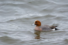 European Wigeon. Wild European Wigeon swimming on a sea Royalty Free Stock Images
