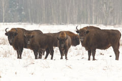 European wild bison Stock Images